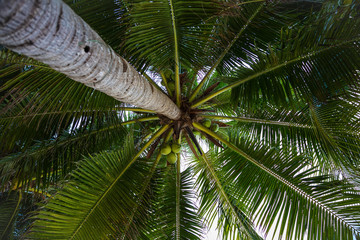 Coconut tree, view from below