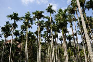 Tropical palm plantation