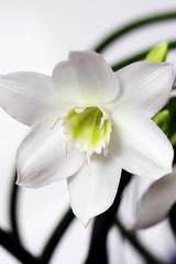 Euharis three flowers on a white background