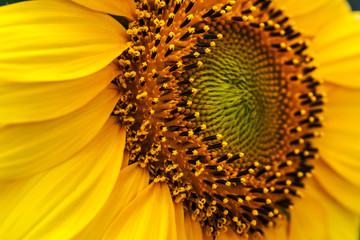 Yellow Decorative Sunflowers close up shot