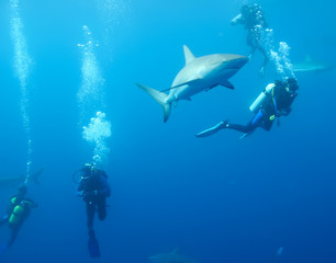 with divers White Shark underwater Cuba caribbean sea
