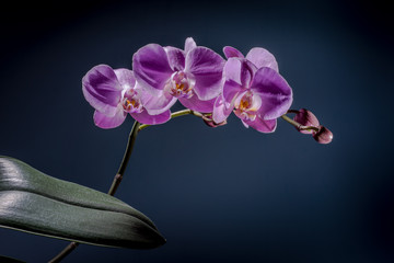 Pink orchid on the dark background