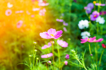 pink cosmos flower in sunlight in morning