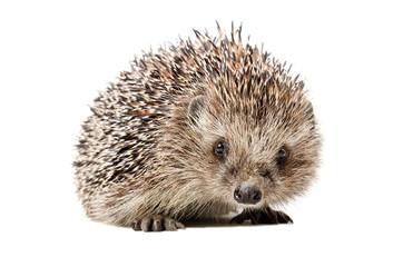 Portrait of a curious hedgehog