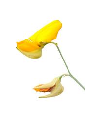 Flower of Sunn Hemp clipping on white background
