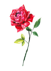 Red rose on white isolated background. Watercolor illustration