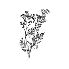 Tansy flowers, Hand drawn vector Illustration.