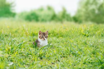 Cute kitten walking in summer