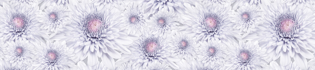 Wall Mural - header panorama  pattern  pale pink flower chrysanthemum