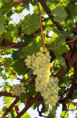 White grapes in the vineyard at summer