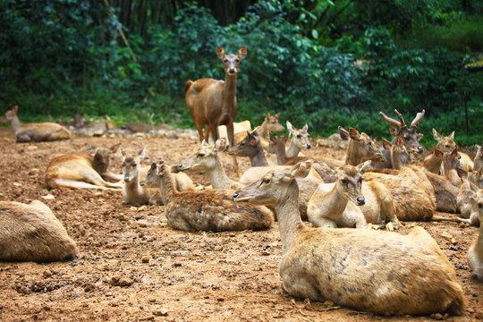 Deer at Safari Park, Cisarua, Bogor, West Java, Indonesia.