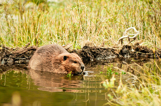 Adult beaver eating a plant on Isla Navarino, Patagonia. Beaver in a lake. Beaver in water in the evening.