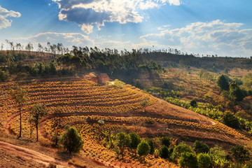 Pineapple plantation in the countryside of Madagascar