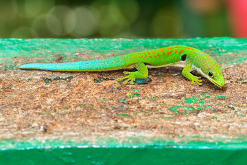 Peacock day gecko (Phelsuma quadriocellata) in the jungle of Ranomafana in Madagascar