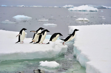 Photo sur Toile Pingouin Adelie Penguin