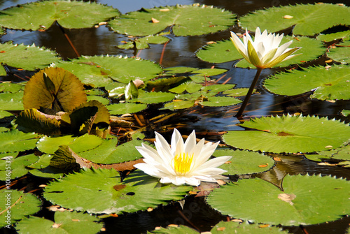 The lotus flower in the natural habitat of the island of bali the lotus flower in the natural habitat of the island of balidonesia mightylinksfo