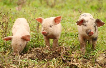 Three baby pigs