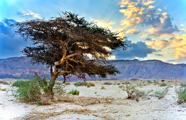 Lonely acacia tree in desert of the Negev, Israel