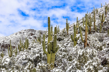 Snow covered saguaro cactus desert landscape