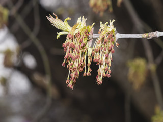 Flowers on branch ash-leaved maple, Acer negundo, macro with bokeh background, selective focus, shallow DOF