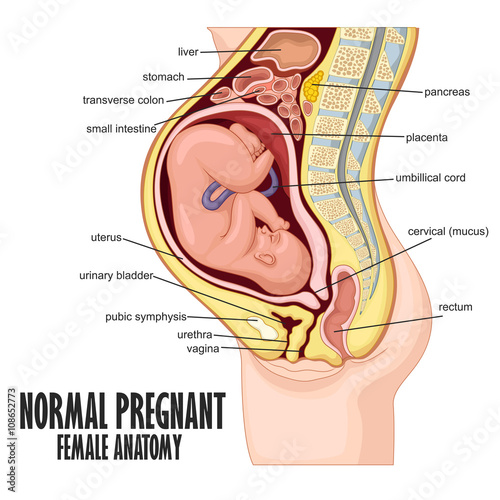 Normal Pregnant female anatomy\