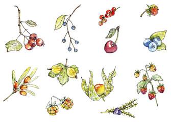 Set of wild berries, botanical illustration, watercolor painting