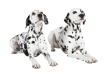 Dalmatiner zwei liegend