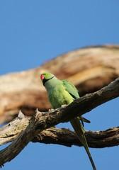 .rose-ringed parakeet (Psittacula krameri), known as the ring-necked parakeet, is a gregarious Afro-Asian parakeet