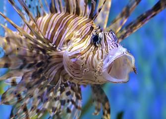 Lion Fish / Scorpion Fish