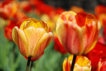 The tulip is a perennial, bulbous plant with showy flowers in the genus Tulipa, of which up to 109 species