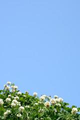 クローバーの花 青空背景