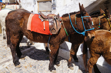 Donkeys and mules equipped with traditional bridles,Santorini,Greece