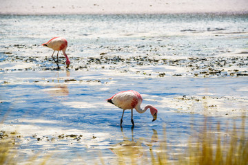 Flamingos eating in the laguna