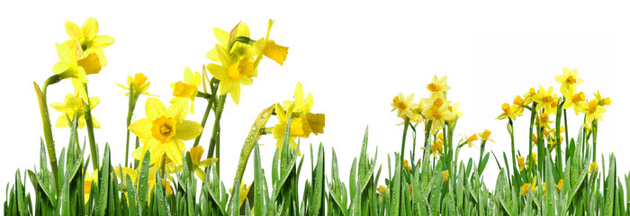 daffodils, narcissus,