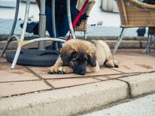 Leonberger puppy under table at cafe outside