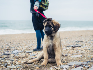 Woman walking Leonberger puppy on the beach