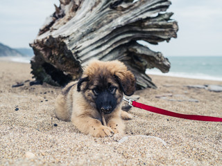 Young Leonberger puppy on the beach by tree trunk
