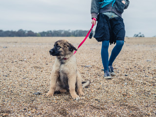 Woman walking Leonberger puppy on beach
