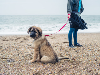 Woman walking Leonberger puppy on beach