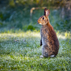 3 Wild common rabbit (Oryctolagus cuniculus) sitting on hind in a meadow on a frosty morning surrounded by grass and dew