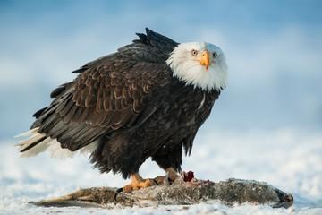 The Bald eagle ( Haliaeetus leucocephalus ) sits on snow and eats a salmon fish.