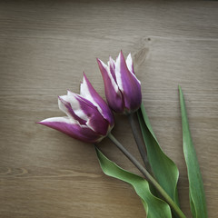 Tulip. Two purple tulips on wooden background. Small bouquet of tulips. Two violet tulips with white margins.
