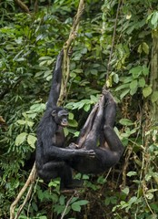 Bonobos (Pan Paniscus) on a tree branch. Green natural jungle background.