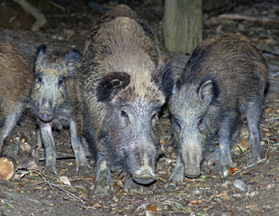 Group of wild boars (Sus scrofa)