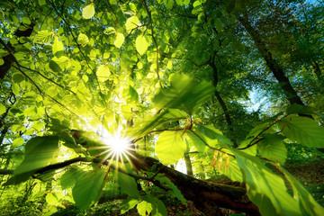Wall Mural - Sonnenstrahlen leuchten effektvoll durch Blätter