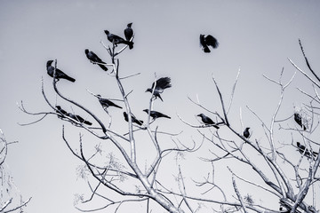 Black Crow on bare branches
