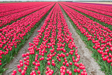Tulips in springtime / A typical dutch springtime scene tulips growing in a field full of colour