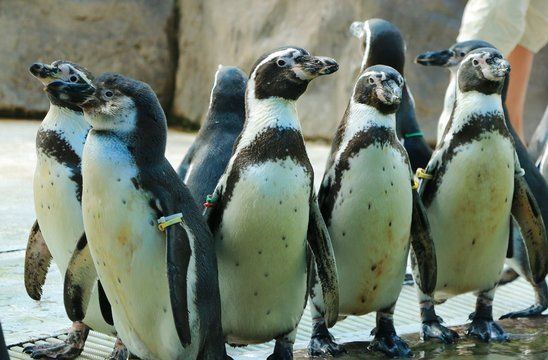 The Big Penguins show in Thailand Zoo
