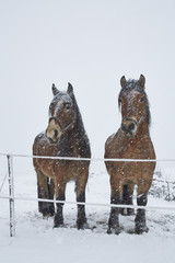 Horses on winter pasture