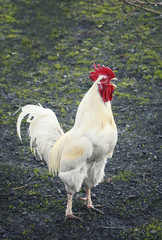 white rooster sings at dawn standing on the green grass on the farm